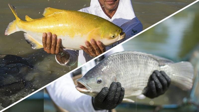 Rondônia é o maior produtor de peixes nativos