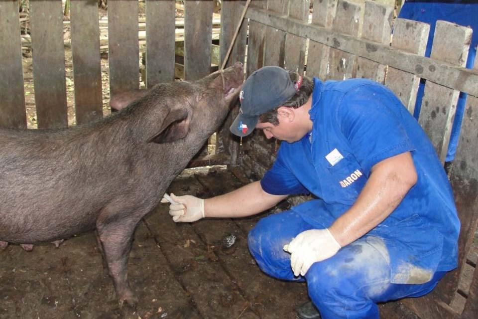Idaron inicia primeira fase do monitoramento sorológico da peste suína